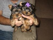 Beautiful Teacup Yorkies for X-Mas