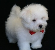 spunky maltese puppies for sale