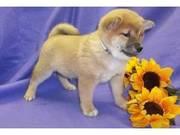 Cute Shiba Inu Puppies